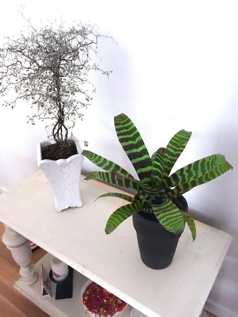 Bromelia, Vriesea