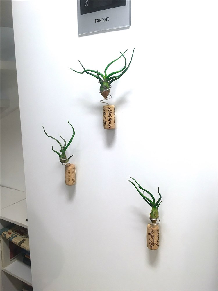 Tillandsia bulbosa, luftplanta, airplant