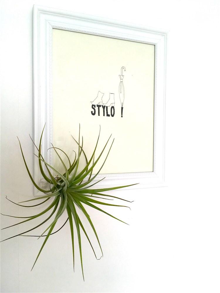 Tillandsia capitata, luftplanta, airplant