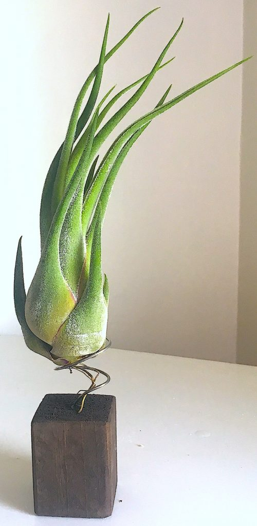 Tillandsia seleriana, luftplanta, airplant