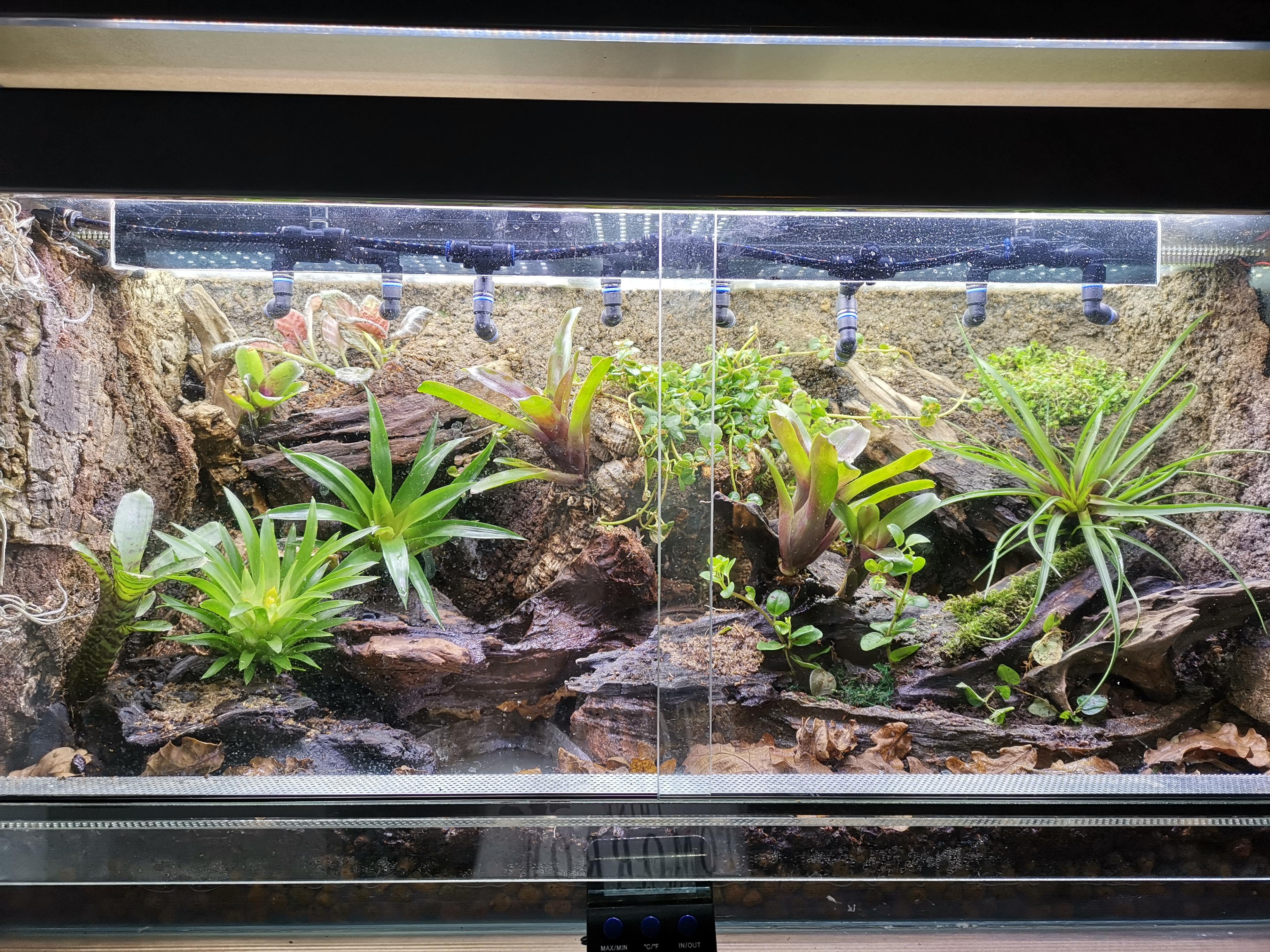 Vivarium,tillandsia,  bromelia, luftplantor, terrarium, pilgiftgrodor, dart frogs, dendrobates, oophaga,