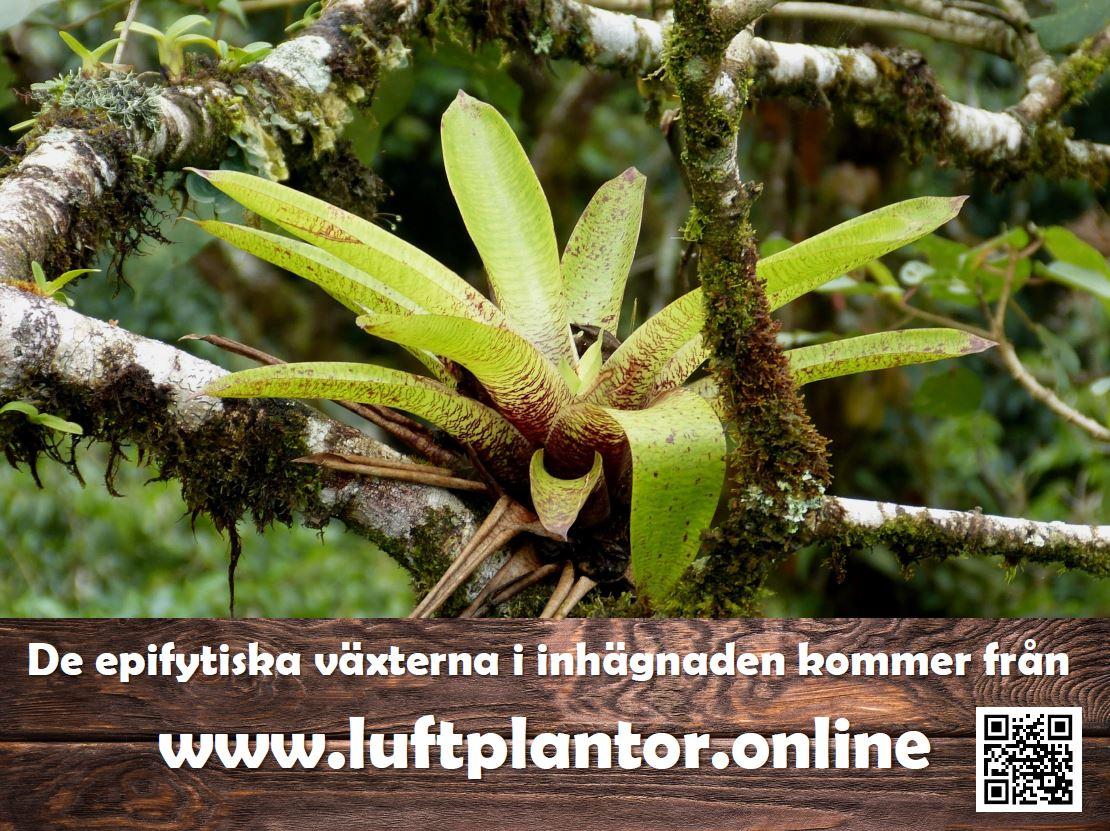 Luftplantor, bromelia, vriesea, neoregelia, tillandsia, Skansen-akvariet, regnskog, rainforest
